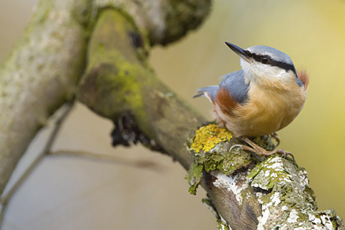 © Phil Johnston - Nuthatch