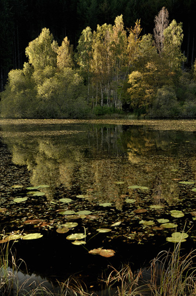 © Stephen Whitehorne - Autumnal Birches and Willows reflected among  the Water Lilies of Polney Loch, Dunkeld, Perthshire
