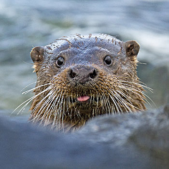 © Marcus Conway - Cheeky Otter